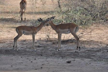 Impala mom and baby grooming